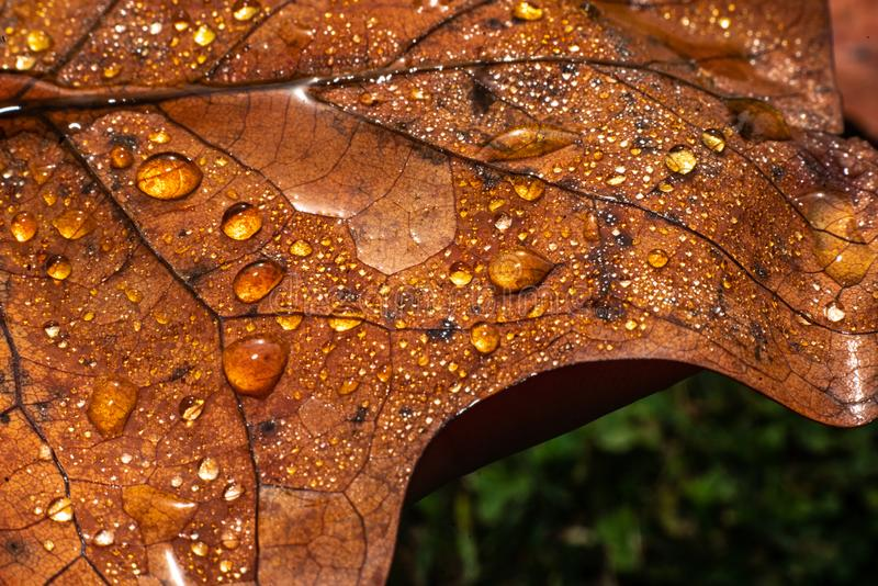 A colourful leaf with waterdrops in sunlight. Seasonal photograph of Autumn. A colourful leaf with waterdrops in sunlight royalty free stock photos