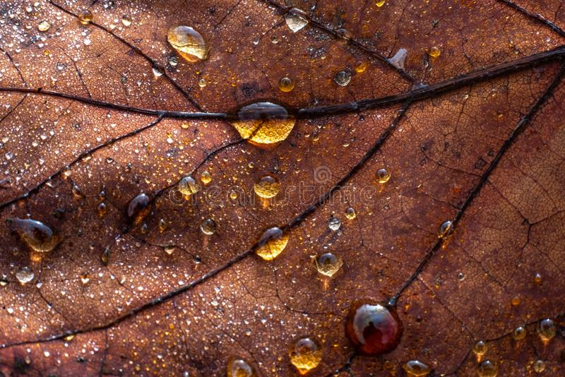 A colourful leaf with waterdrops in sunlight. Seasonal photograph of Autumn. A colourful leaf with waterdrops in sunlight royalty free stock photo