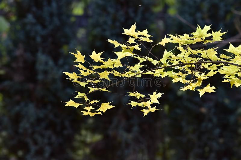 Colourful leaves in the autumn. November maple leaf, after the frost hit, first from green to yellow, then by Huang Bianhong, the color is very beautiful and royalty free stock images