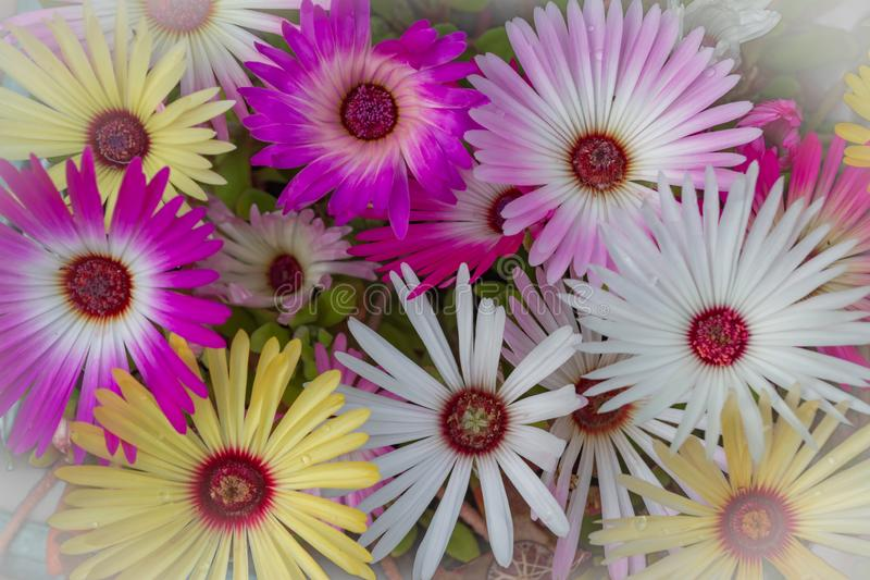 Colourful Livingstone Daisy Flowers Closeup. Close up of Livingstone Daisy flowers in different colours growing in garden stock photos