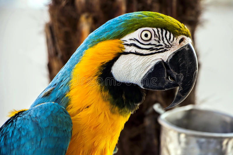 Colourful macaw parrot. Closeup of a bright coloured macaw parrot; portrait of ara parrot stock photography