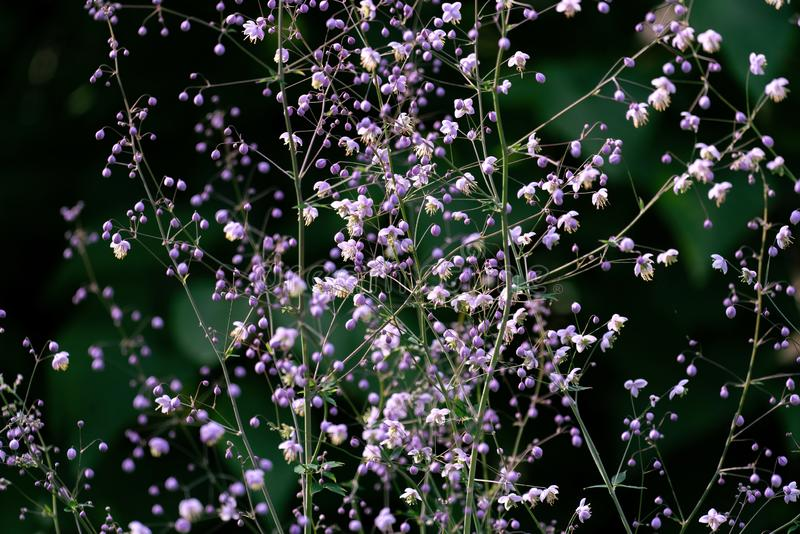 Colourful macro close up of pink coloured Gypsophila paniculata stock photography