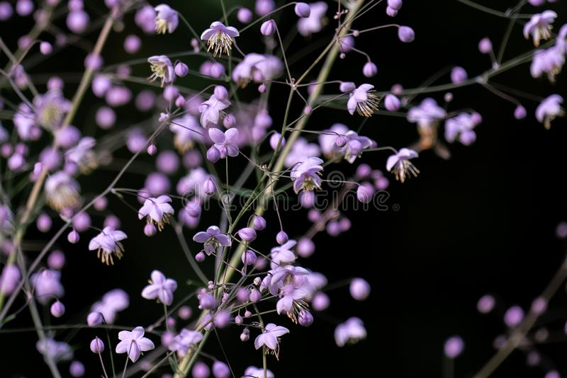 Colourful macro close up of pink coloured Gypsophila paniculata royalty free stock image