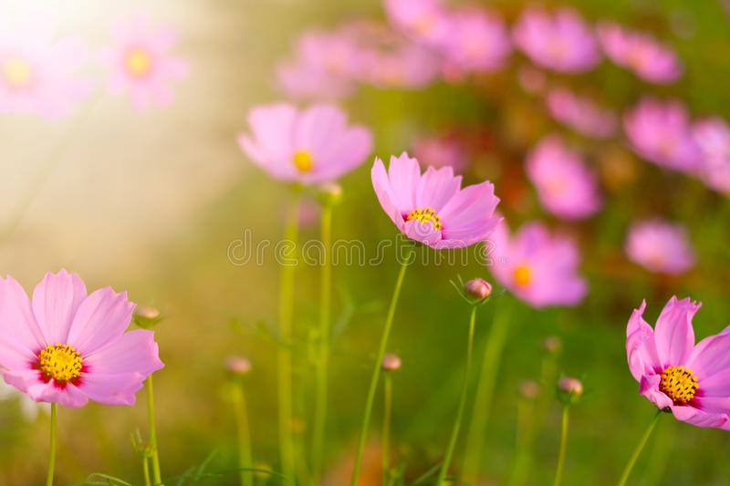 Cosmos flower in the garden and morning sunlight. Colourful macro fresh magenta natural background botanical floral florist petal decoration bloom anthers royalty free stock photos