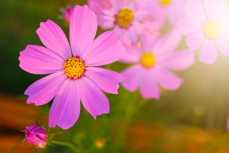 Cosmos flower in the garden and morning sunlight. Colourful macro fresh magenta natural background botanical floral florist petal decoration bloom anthers stock image
