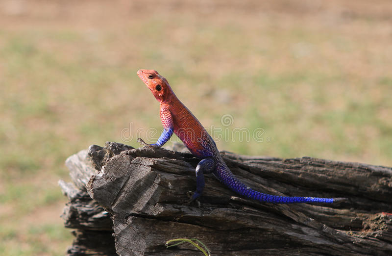 Colourful Male Gecko basking on a large wooden tree trunk with a natural background stock photo