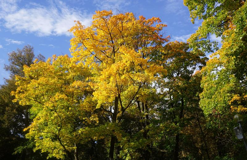 Colourful maples on a sunny day in fall royalty free stock photo