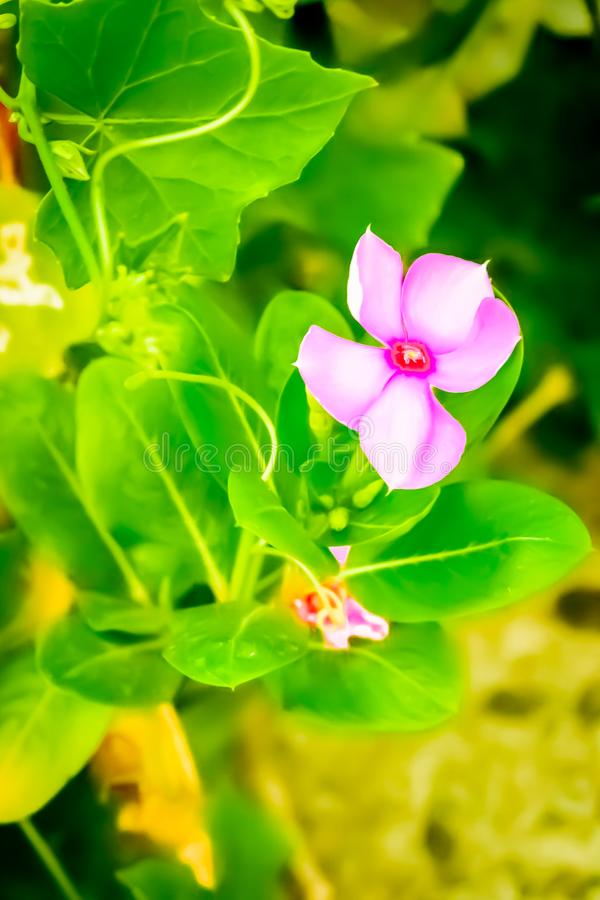 Colourful menchia kwiat chwytający od kwiatu ogródu obrazy royalty free