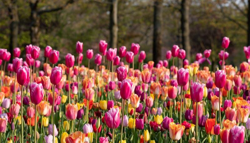 Colourful menchii, koloru żółtego i pomarańcze tulipany rozkładający przy Keukenhof ogródami, Lisse, Południowy Holandia Keukenho zdjęcie stock