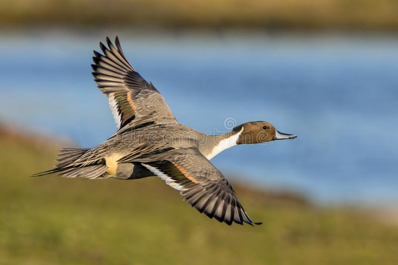 Northern Pintail Drake - Anas acuta, flying over a wetland. A colourful migratory Drake Northern Pintail `Anas acuta` flying over a wetland on a bright winters royalty free stock images