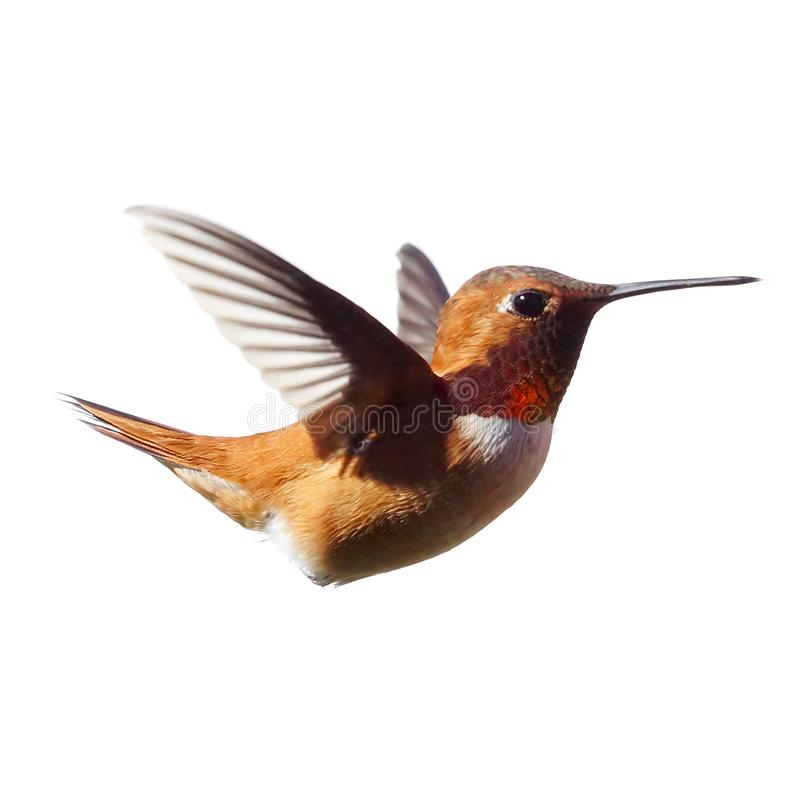 Male Rufous Hummingbird frozen in time with a white background royalty free stock photo