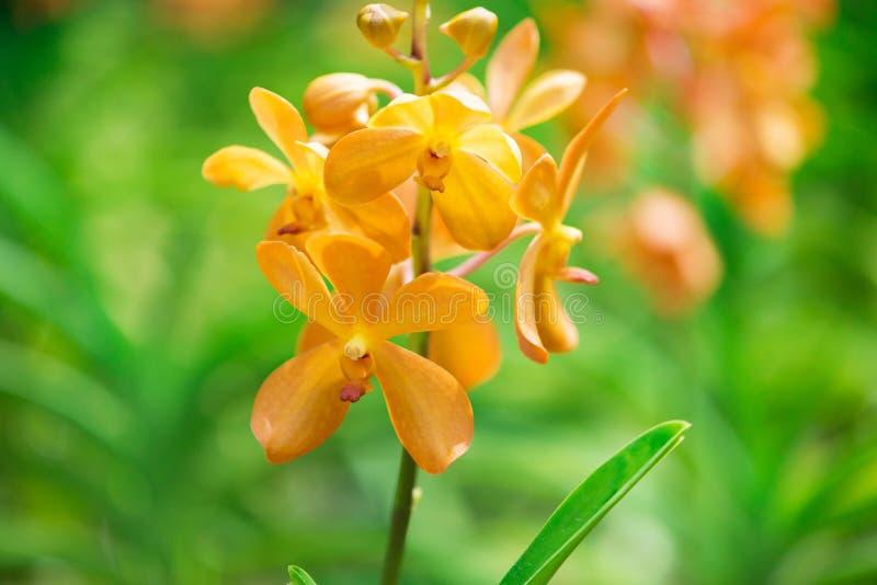 Colourful orchidea kwitnie na jaskrawym zdjęcie royalty free