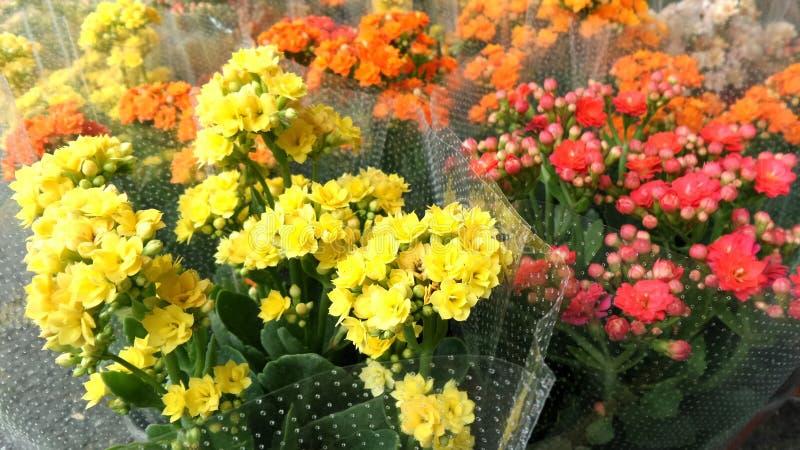 Colourful Płomienny Katy kwiat fotografia royalty free