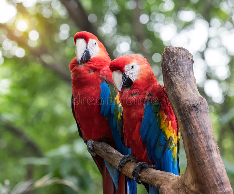 Colourful papugi ptasie obrazy royalty free