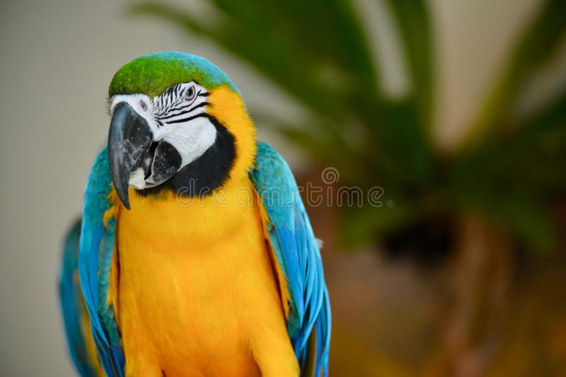 A colourful parakeet at KL bird park. A colourful parakeet with yellow and blue contrasting colored feathers captured at KL bird park in Malaysia. KL bird park stock images