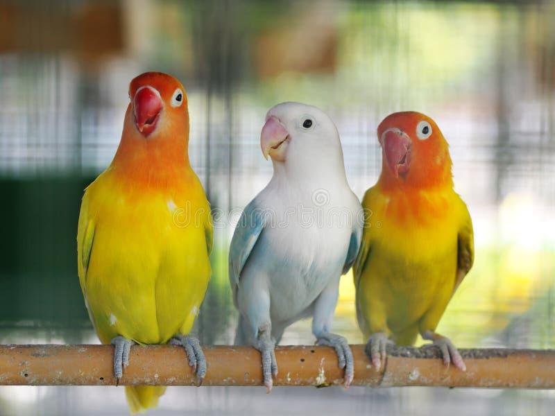 Colourful pastelowych brzmienie koloru lovebirds małe śliczne młode papugi zdjęcia stock
