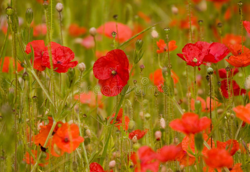 Colourful poppies royalty free stock photos