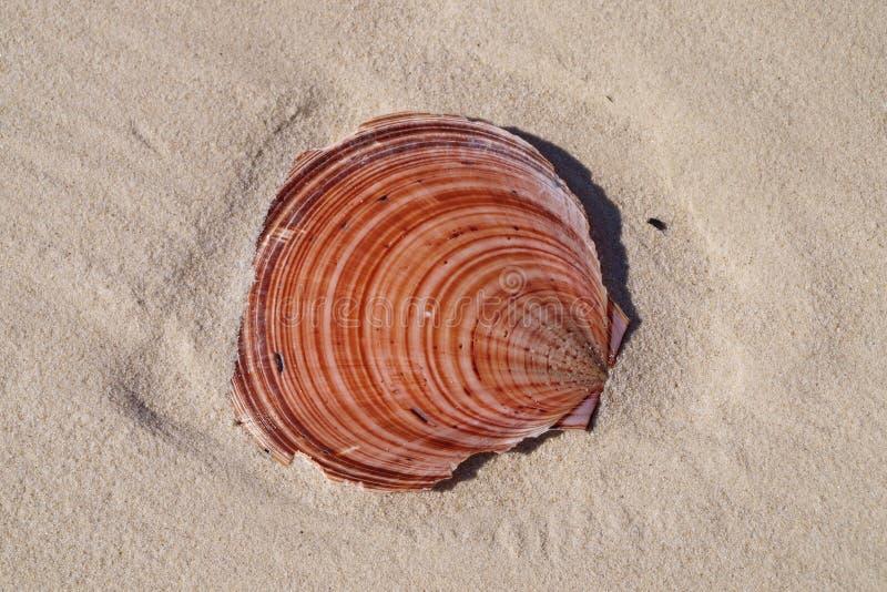 Colourful przegrzebek Shell na tropikalnej białej piaskowatej Coongul plaży, F obrazy royalty free