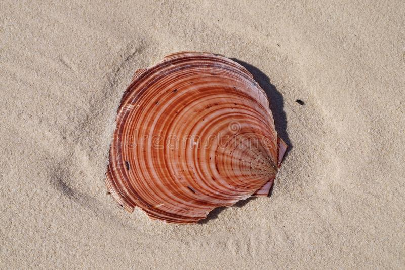 Colourful Scallop Shell on tropical white sandy Coongul Beach, F royalty free stock images