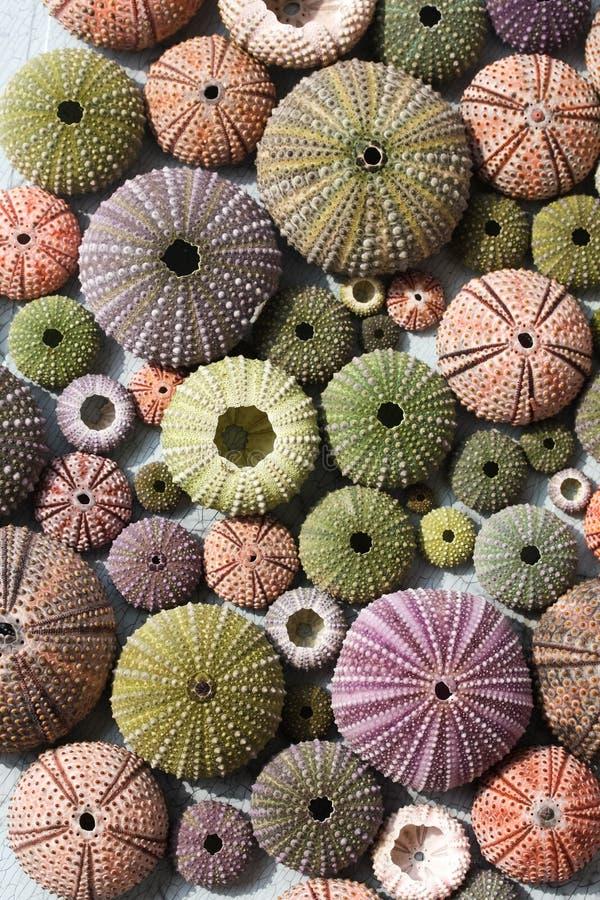Colourful sea urchin shells royalty free stock image