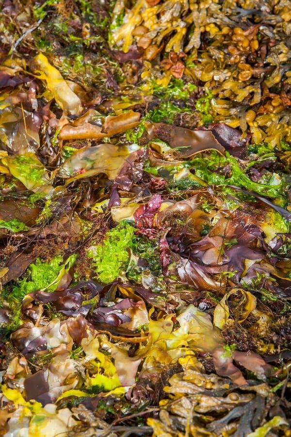 Colourful Seaweed stock image
