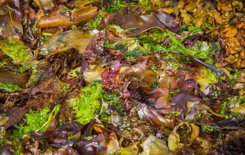 Colourful Seaweed stock photo