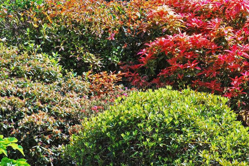Colourful shrubs. Colourful mature shrubs in English garden royalty free stock image