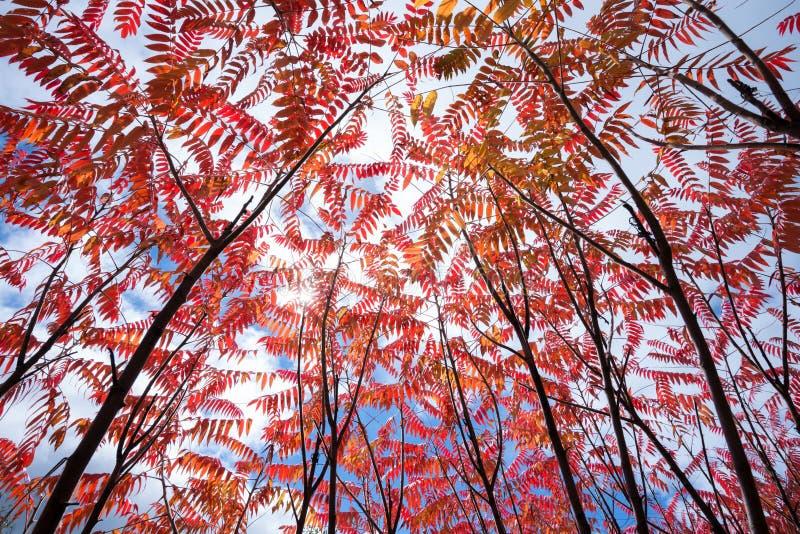 Colourful sumaki w jesieni obraz royalty free