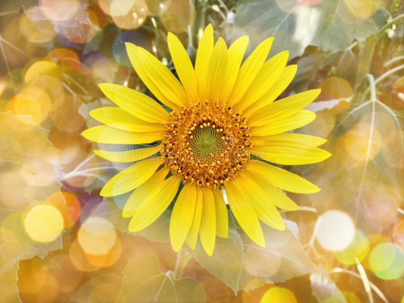 Colourful summer orange bokeh and sunflower in garden background royalty free stock photo