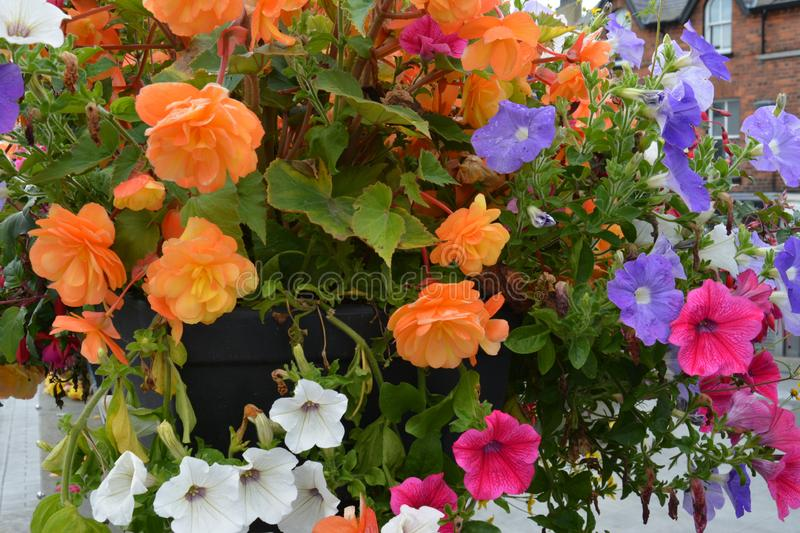 Colourful summer Petunias and Begonias. Mixed coloured garden flowers royalty free stock photo
