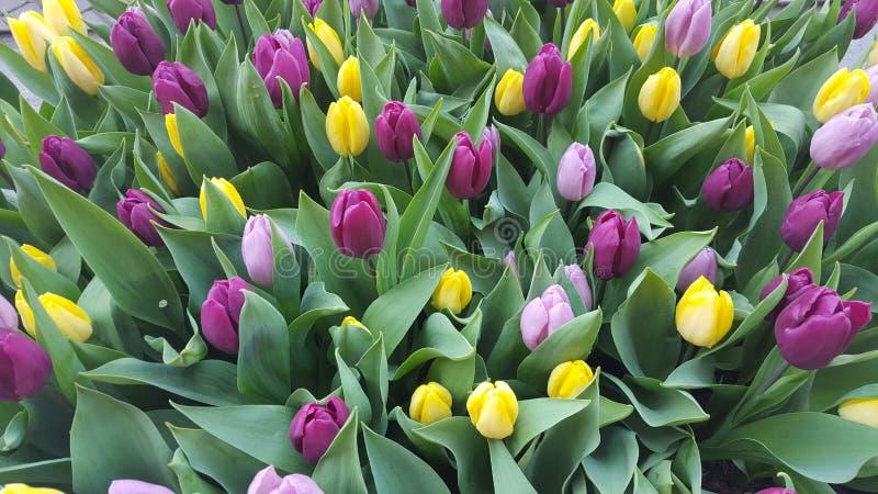 Colourful tulipanów kwiaty zdjęcia stock