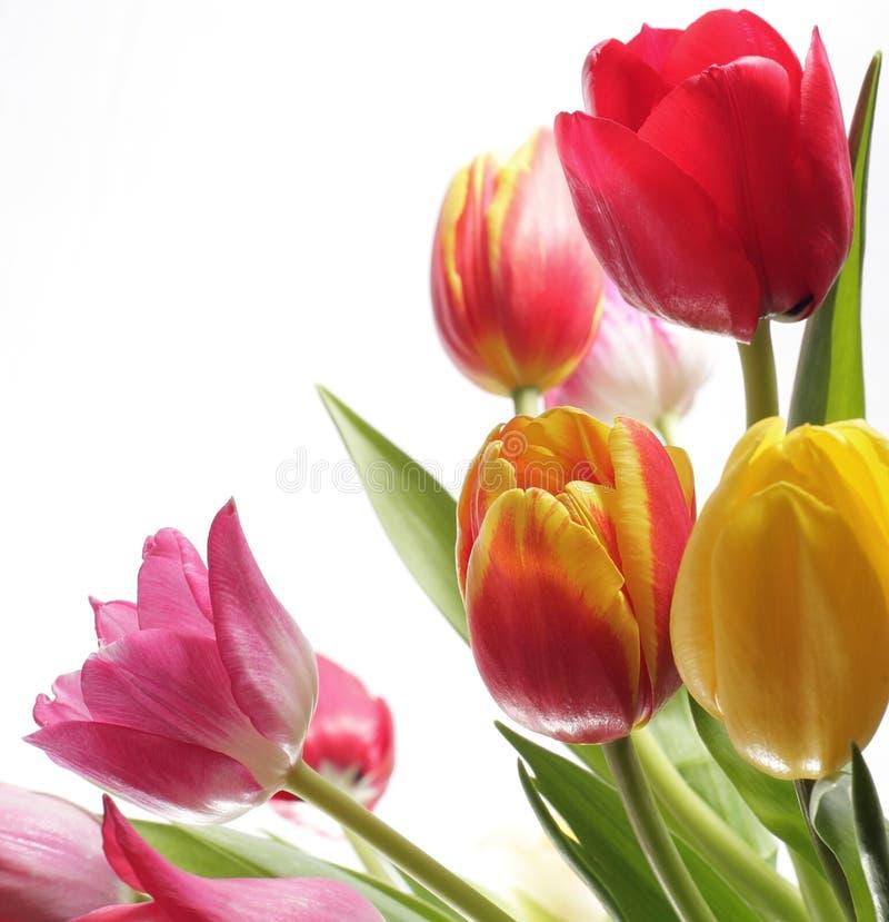 Colourful tulipany odizolowywający na białym tle obraz stock