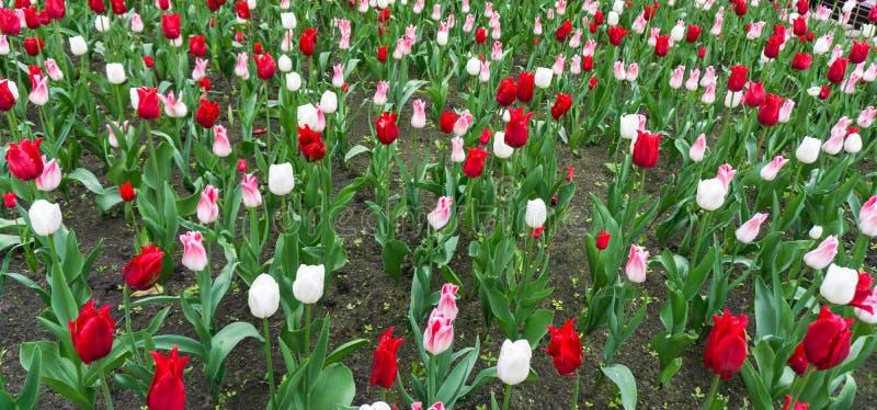 Download Colourful Tulips Flowers Season Garden Stock Photo - Image of image, garden: 64684532