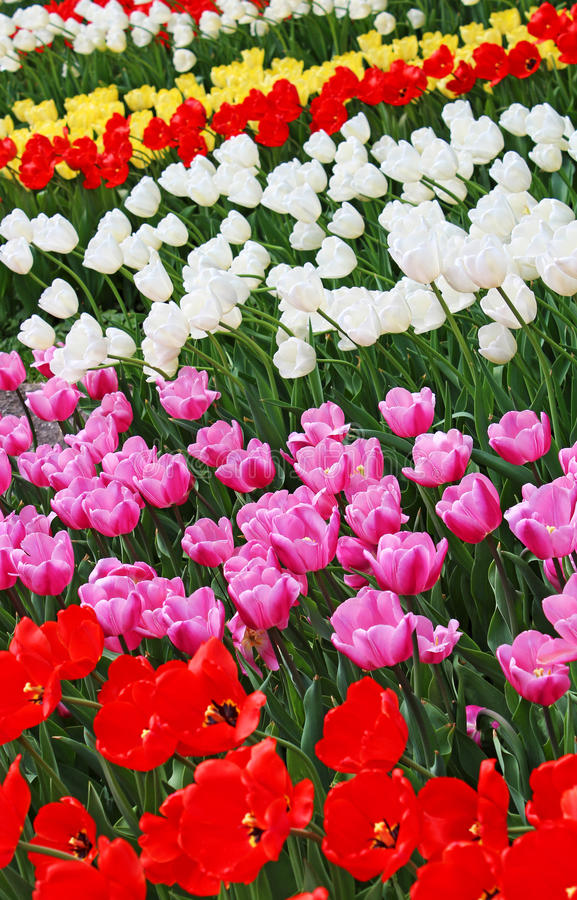 Colourful tulips royalty free stock image
