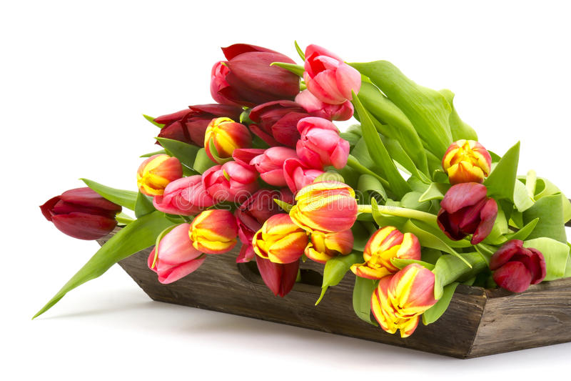 Colourful tulips on a wooden tray. White background stock photography