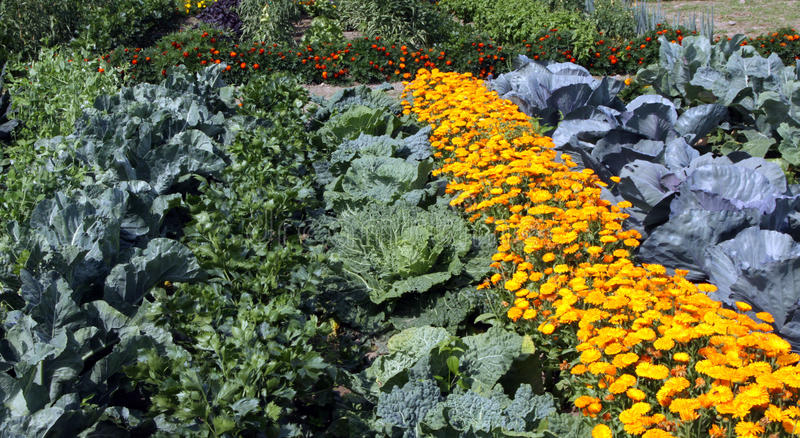 Colourful vegetable garden bed. Colourful bed with vegetable brassicas and annual flowers. The intermediate space can be seeded with flowers and also liven up stock photos