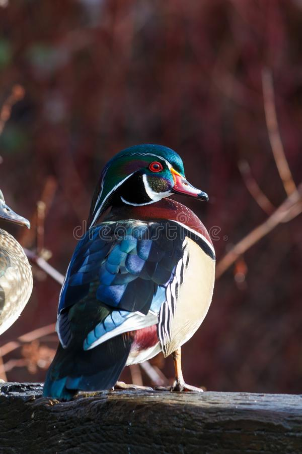 Colourful Wood Duck Sitting on a Log. A male wood duck perched on a ledge royalty free stock photos