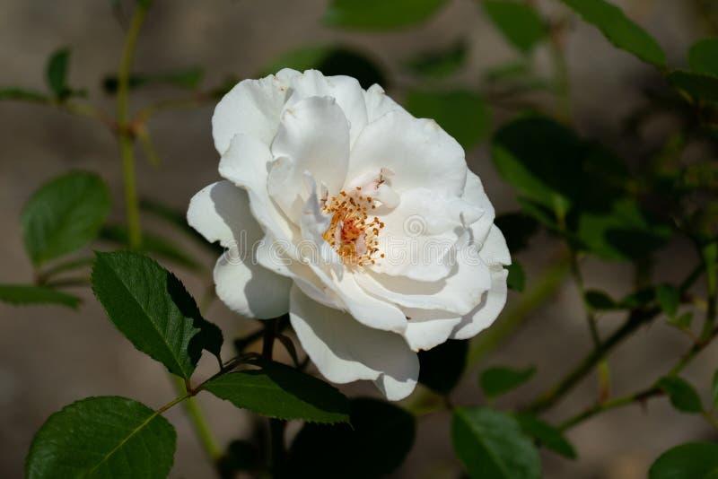 Colourful zakończenie w górę pojedynczej białej Margaret merril róży głowy zdjęcie stock