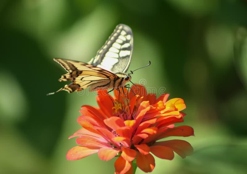 Colourfull butterfly on flower. Stunning colourfull butterfly on flower royalty free stock photo
