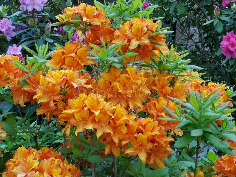 Colourfull kwitnie w ogródzie obraz royalty free