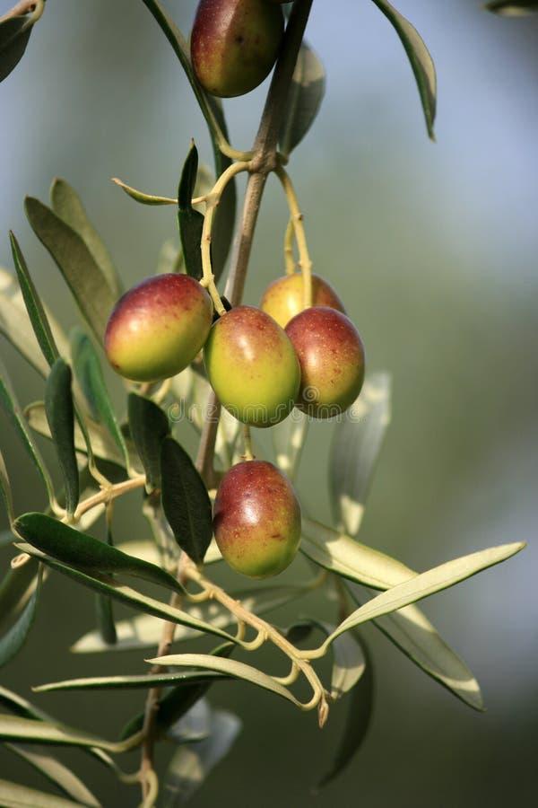 Colourfull Oliven lizenzfreie stockfotografie