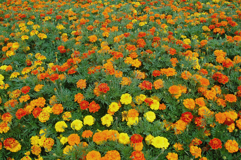Download Colours and flowers stock photo. Image of field, agriculture - 566468