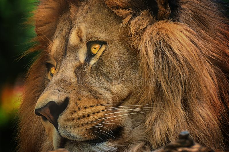 Colours portrait detail face lion. With significant eyes. Proposal for postcard from zoopark royalty free stock photo