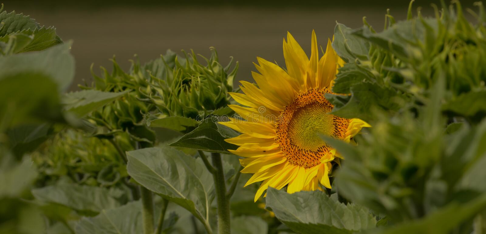 Colours of Summer. Sunflower in a Sunflower-Field. On green background royalty free stock photography