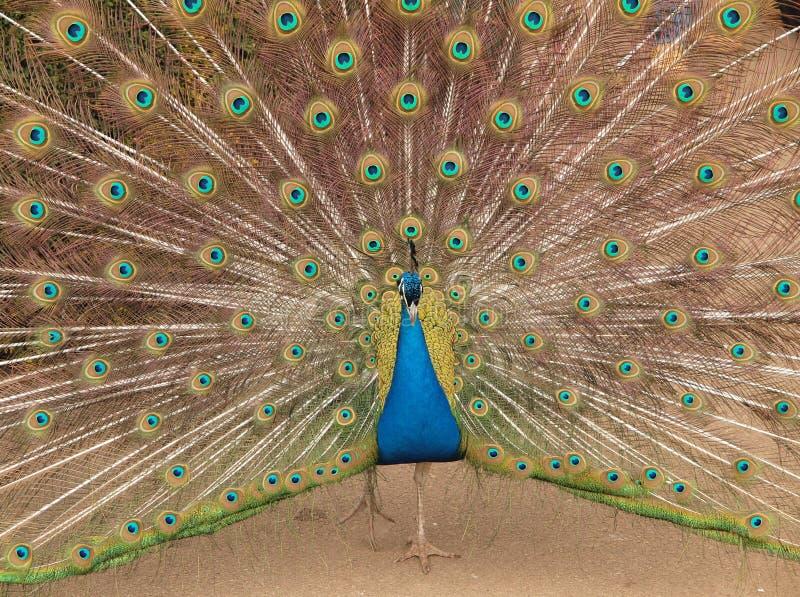 colours target2208_0_ indyjskiego pawia obrazy stock
