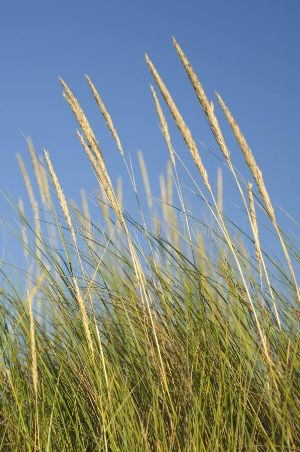Colpi della psamma arenaria nel vento fotografie stock