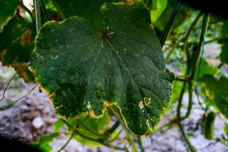 Colpito dalle malattie e delle foglie della pianta e dai frutti del cetriolo immagine stock
