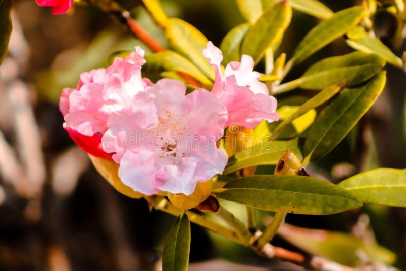 Colpo alto vicino dei fiori rosa in fioritura ai giardini giapponesi a Grand Rapids Michigan fotografia stock