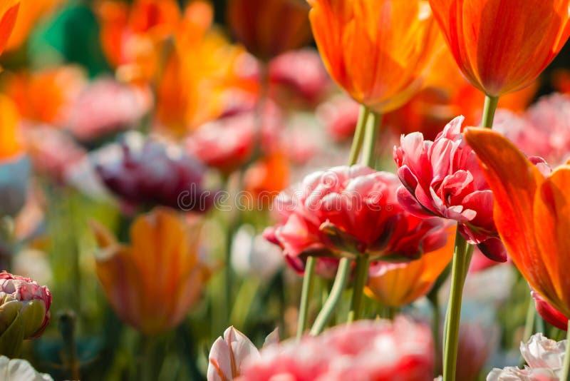 Colpo alto vicino dei tulipani arancio e delle peonie rosa misti insieme in un'aiola a Frederik Meijer Gardens a Grand Rapids Mic immagini stock