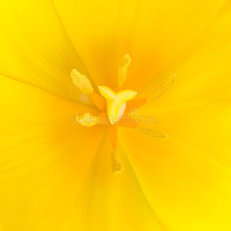 Colpo alto vicino di macro del tulipano giallo immagini stock